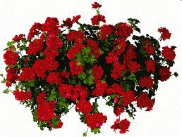 pelargonium-peltatum